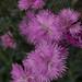dianthus, myyard, jdy144 XX201105246364.jpg