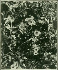 Anglų lietuvių žodynas. Žodis genus raoulia reiškia genties raoulia lietuviškai.