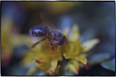 flauschig (masine) Tags: blur flower film yellow analog out focus close minolta kodak bee gelb 135 blume makro unscharf manualfocus nahaufnahme srt101 biene ektar100 mdrokkor114f50mm