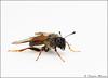Sawfly (Trichiosoma triangulum) (Stephen_J_Maxson) Tags: sawfly cimbicidae trichiosomatriangulum cimbicid