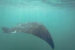 g0170097 (lennoxr313) Tags: mexico underwater yucatan cancun mantaray islaholbox gopro hero3 goprohero3