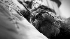 DSC_0065 (Manuel D Snchez) Tags: dogs perros dogos seleccionar