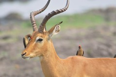 Chobe National Park, Botswana (stevelamb007) Tags: botswana africanwildlife chobenationalpark
