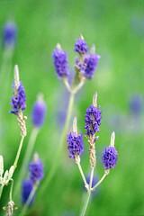 Analogue Trio. (<Pirate>) Tags: flowers color macro beautiful canon garden wonder highlands superia lavender highland ii cameron malaysia analogue elan resorts natures pahang c41 2oo 281oo