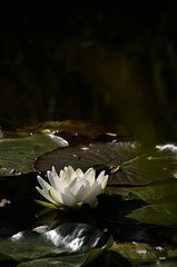 Waterlily (mellting) Tags: plant flower nikon flickr waterlily sweden sverige nymphaea eskilstuna platser näckros 500px sigma70300456 bloggad nikond7000 mellting rothfossparken matsellting
