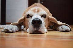 Frontal (Lorena Palma) Tags: dog pet house cute beagle animals photography casa nikon floor front perro bark animales frontal mascota piso