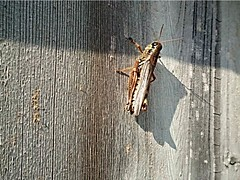 "Modified Photo:  ""Grasshopper on barn board"" (Ken Whytock) Tags: insect grasshopper locust barnboard"