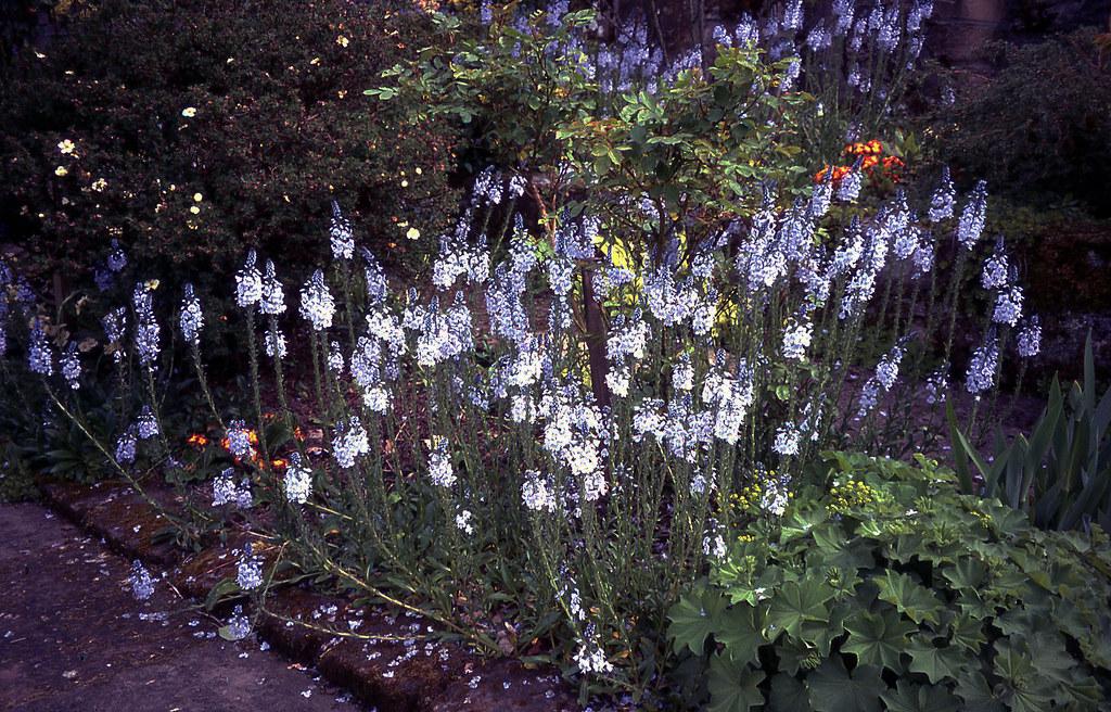 Veronica gentianoides 'Tissington White'