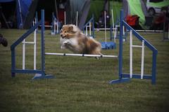 Jumping Jack (ellie johansen) Tags: show dog norway canon jumping sheltie sheepdog august agility ag visitor shetland shetlandsheepdog nkk utstilling bjerke 60d
