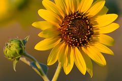 Sunflower State (NaturalLight) Tags: yellow sunflower kansas bud prairie wildflower wichita stateflower sunflowerstate helianthusannus commonsunflower chisholmcreekpark ksccna9284