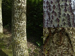 Queen of the trees - can you see her? (Englepip) Tags: tree face silver bark birch rough