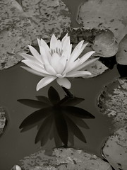 Nnuphar (Guillaume Bodeau) Tags: paris floral waterlily nnuphar parc