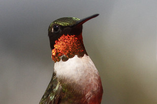 Portrait, Ruby-throated Hummingbird