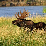 Bull moose eating Coyote Willow on Seedskadee National Wildlife Refuge thumbnail