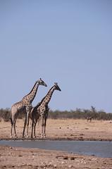 KCC_0634 (kccornell) Tags: africa park national giraffe namibia etosha
