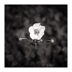 o O o (Scubaba) Tags: flowers bw france flower fleur monochrome fleurs canon blackwhite europe noiretblanc minimal minimalism artois noirblanc pasdecalais minimalisme 5dmark2 5d