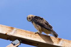 A juvenile Swainson's Hawk bows its head.