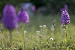 IMG_0274-2 (jokinzuru) Tags: naturaleza orchid planta nature canon eos 50mm blackwhite flor campo alava araba orqudea profundidaddecampo airelibre buruaga 70d