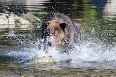 Bear versus Salmon (Tim Melling) Tags: bear river ngc salmon columbia british grizzly chum ursus arctos horribilis oncorhynchusketa timmelling kekite