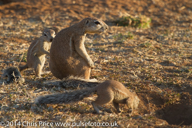 Ground Squirrel, Madikwe Game Reserve