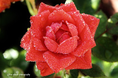 Red rose after the rain. (Gillian Floyd Photography) Tags: red rain rose drops