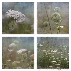 Queen Anne's Lace Botanical Series 1-4 Collage (Chickens in the Trees (vns2009)) Tags: flowers nature floral collage poster square botanical soft feminine wallart ethereal series dreamy casual wildflowers distressed daucuscarota queenanneslace textured 500x500 fineartprint