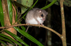 Prehens-9755 (Henry.Cook) Tags: nature mouse mammal rodent rat native wildlife north australia queensland cairns tailed kuranda arboreal prehensile pogonomysmollipilosus