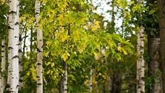 Sony NEX6 + planar 50mm f2/0 (Polina Ignatova) Tags: autumn leaves sony yellowleaves осень березы санктпетербург береза листья желтыелистья sonyphotographing russianbirches nex6 sonynex6 русскиеберезы