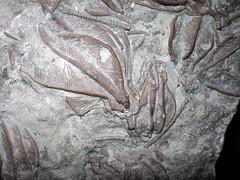 Xenocrinus baeri fossil crinoids in fossiliferous limestone (Whitewater Formation, Upper Ordovician; northeastern Warren County, southwestern Ohio, USA) 3 (James St. John) Tags: ohio fossil whitewater formation limestone ordovician cincinnatian crinoids baeri xenocrinus