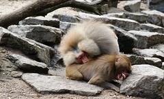 Fighting (Fotofreaky2013 (BUSY)) Tags: zoo monkey fight aap emmen dierentuin vechten dierenpark apen