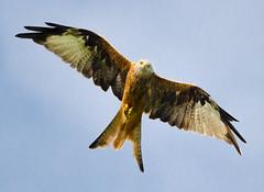 Red kite (Greeeny) Tags: kite bird birding leeds harewood