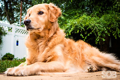 | Bird Watching | (SOBPhotography) Tags: rescue dog chien color cane digital goldenretriever golden us newjersey unitedstates canine hond retriever perro domestic hund photograph blonde k9 dogphotography colorimage animalthemes