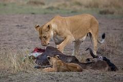 Life and death in the Masai Mara (Hector16) Tags: africa pride kenya wildlife olare predator dikdikpride sated pantheraleo olareorokconservancy family kicheche lion masaimara narokcounty ke ngc