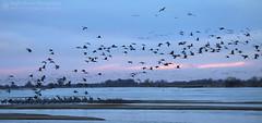 The Arrival (right2roam) Tags: sandhillcrane cranes landing roosting flying birds migration spring platteriver nebraska right2roam gruscanadensis