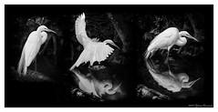 Great Egret (GAPHIKER) Tags: ellieschillerhomosassaspringswildlifestatepark homosassaspringswildlifestatepark homosassasprings homosassa springs wildlife florida park bird greategret egret commonegret greatwhiteheron happyslidersunday hss triptych forthatcertainbirdlover