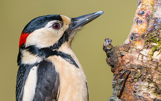 Great Spotted Woodpecker - male (Dendrocopos major)