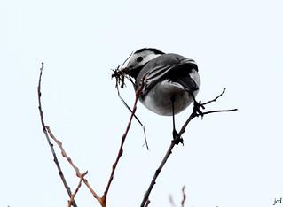 Bergeronnette grise_Motacilla alba