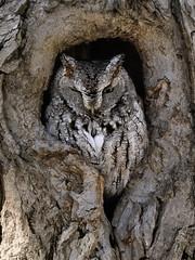 Petit-duc maculé ------- Eastern screech owl ------- Autillo yanqui (Jacques Sauvé) Tags: duc maculé petit eastern screech owl autillo yanqui