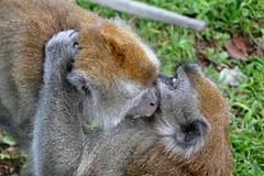 Bukittinggi - Are We Fighting or Hugging ? (Drriss & Marrionn) Tags: travel bukittinggi outdoor sumatra indonesia asia southeastasia sianokcanyon kotogadangvalley animal animals macacafascicularis crabeatingmacaque longtailedmacaque monkey monkeys mammal ape cercopithecidae cynomolgusmonkey brown makaku macaca omnivore taxonomy:binomial=macacafascicularis taxonomy:genus=macaca taxonomy:species=fascicularis taxonomy:subtribe=macacina taxonomy:tribe=papionini taxonomy:subfamily=cercopithecinae taxonomy:family=cercopithecidae taxonomy:superfamily=cercopithecoidea taxonomy:infraorder=haplorhini taxonomy:suborder=euprimates taxonomy:order=primates taxonomy:magnorder=boreoeutheria taxonomy:cohort=placentalia taxonomy:infraclass=eutheria taxonomy:class=mammalia macaque primates