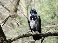 DSCF7995 Parco Nord - Cornacchia su Robinia (Franz Maniago) Tags: cornacchia o hear orry