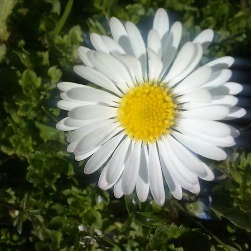 #margherita #piccolofiore