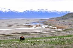 Bison and pronghorn by Buffalo Bay (Great Salt Lake Images) Tags: spring morning bison antelopeisland greatsaltlake utah
