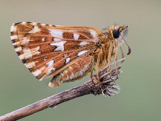 escamas de mariposa