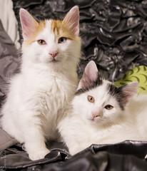 20150215_7363c (Fantasyfan.) Tags: turkishvan kittens fantasyfanin kuunkissan