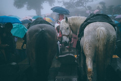 馬馬馬|清境農場 (里卡豆) Tags: 清境農場 南投 台灣 taiwan 馬 nantou animal olympus penf 25mm f12 pro 2512pro