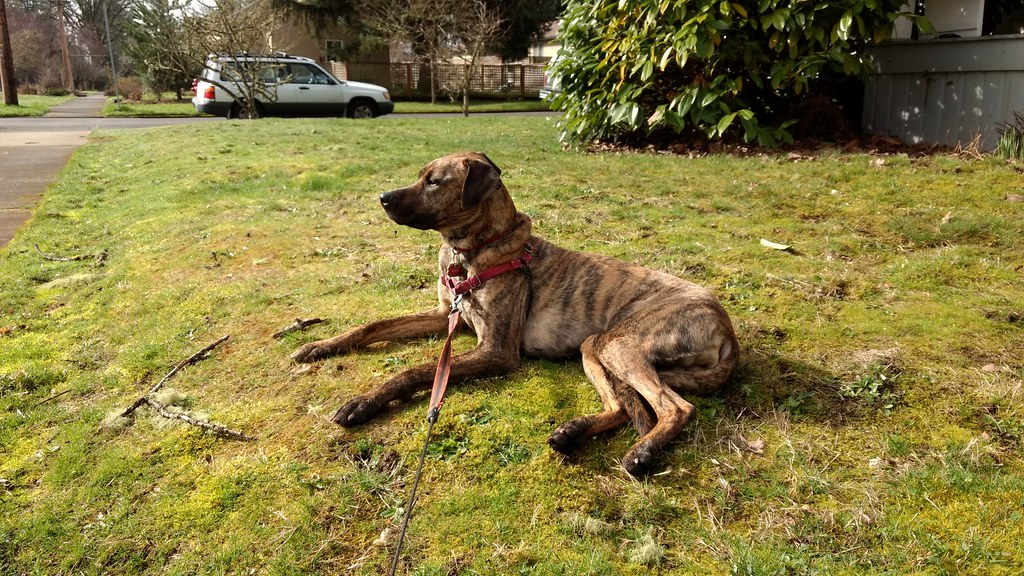 the worlds best photos of brindle and greyhound flickr