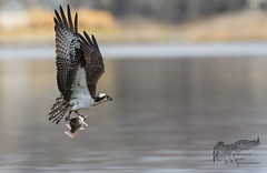 Osprey with fish 4_5 1 (krisinct- Thanks for 15 Million views!) Tags: nikon d500 500 f4 vrg