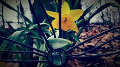 Peekaboo Daffodil (SurFeRGiRL30) Tags: daffodil fence green yellow beautiful whimsical jewel vintagefilter petals spring nj