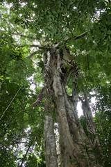 Nest view tree (Kai Bey) Tags: seram hammock hennessy