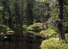 02-IMG_8388 (hemingwayfoto) Tags: österreich austria baum europa fichte flechte hochmoor hohetauern landschaft moorauge nationalpark natur naturschutzgebiet rauris rauriserurwald reise tannenbaum urwald wald